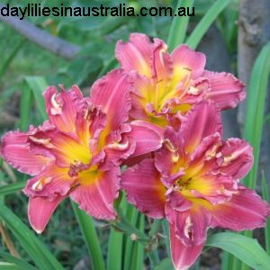 Double Daylilies Double Rosedale For Sale