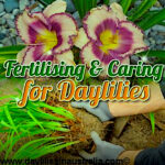 Fertilising and Caring for Daylilies