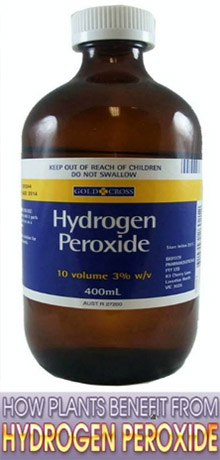 Hydrogen Peroxide for Plants and Daylilies