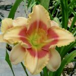 A True Polytepal daylily with 12 stamens and 4 petals