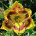 Single Flowered Daylilies