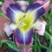 What Are Daylilies
