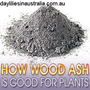 Daylilies In Australia Wood Ash As Garden Fertiliser Wood