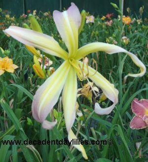 Spider Daylilies Australia