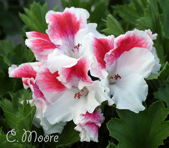 First-Blush Regal Pelargonium Plant Shrub