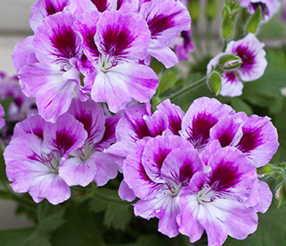 Regal Pelargoniums Growing in Pots Pelargoniums mistaken for Geraniums Garden Plants