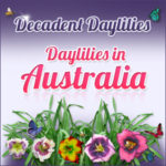 day lilies in australia buy online