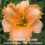 Daylily forestlake ragamuffin with teeth