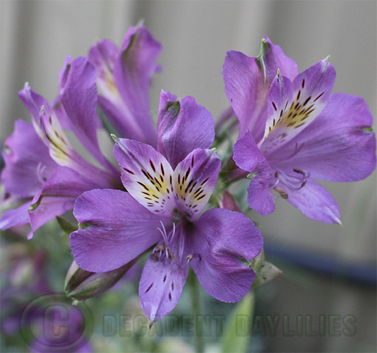 Alstroemeria purple
