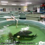 Aquaponics gardening fish in Murray Cod fish swimming in large tanks