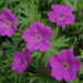 The Cranesbill the True Geranium