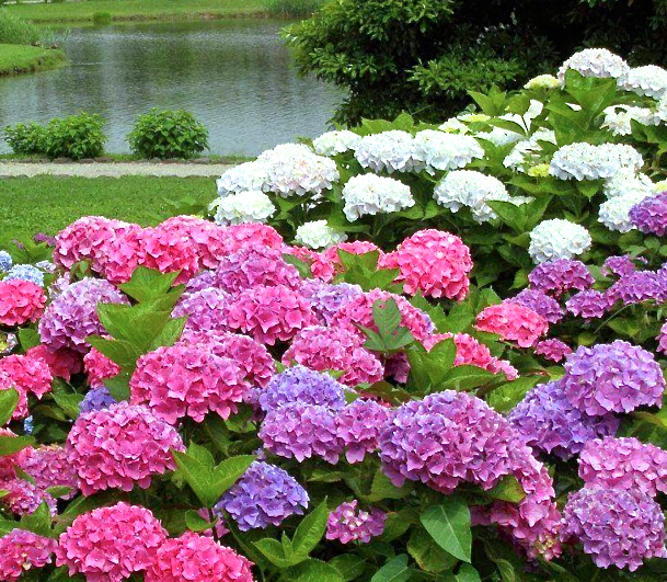 growing hydrangeas plant flowers