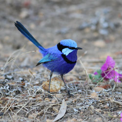 Attracting Native Birds to your Garden - Blue Wren