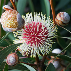 attracting-native-birds-to-the-garden-hakea