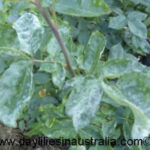 Powdery Mildew on a rose bush