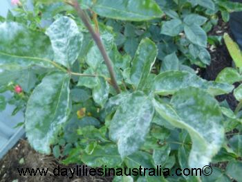 Best Powdery Mildew Treatment for Plants