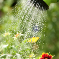Foliar Feeding Plants and Daylilies