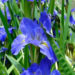 Louisiana Iris Growing Water Irises