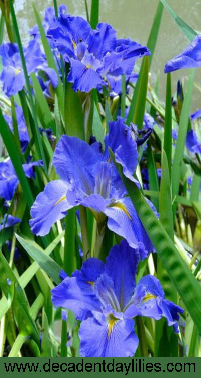 Louisiana Iris the Water Irises