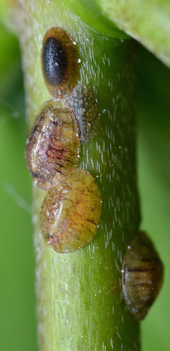 Getting Rid of Scale Insects