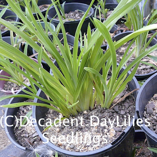 Growing Daylilies From Seed Pods
