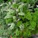 Starting a Herb Garden