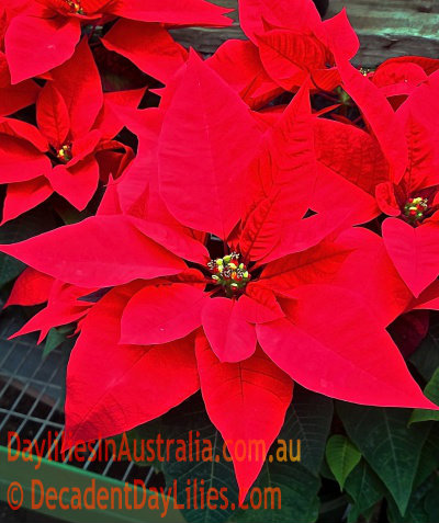 dwarf poinsettia christmas flowers - Red Christmas Flowers