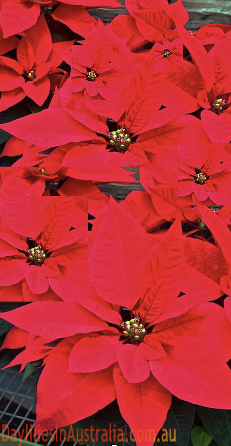 Poinsettia made to flower at Christmas time