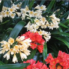 Clivias and Daylilies in Australia