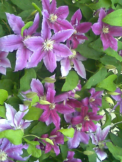 Clematis Flair