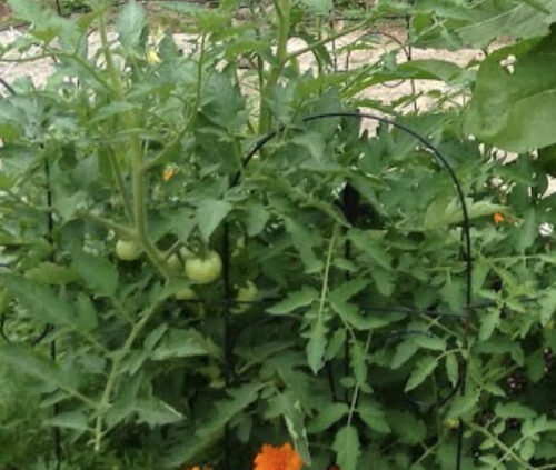 Companion Planting - tomatoes with gold copper rust marigolds