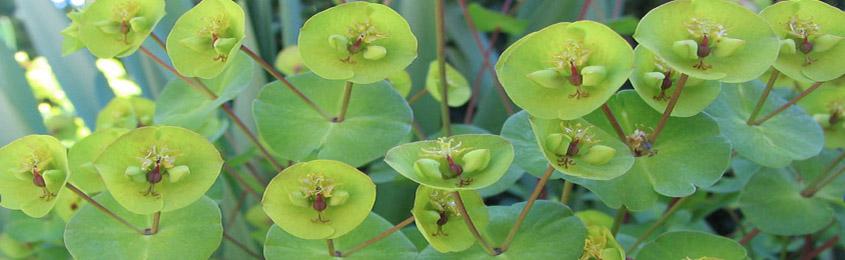 Dangers Of Euphorbias Daylilies In Australia