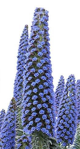 Echium Pininana