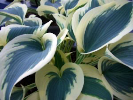 Hosta Plant Growing in the Shade