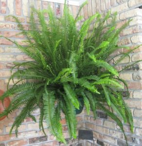 Sword Fern Nephrolephis Obliterata Kimberly Queen Emerald Queen How to Grow Ferns