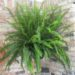 Sword Fern Care – Nephrolepis obliterata