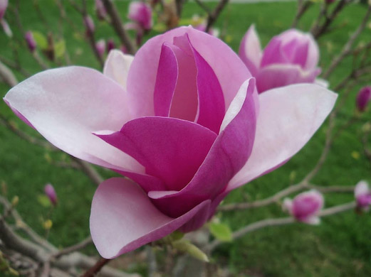 Daylilies In Australia Magnolia Trees Care Growing Beautiful Hardy