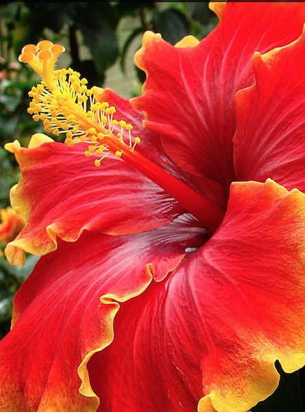 Daylilies In Australia Hibiscus Plants Care Yellow Leaves Curling