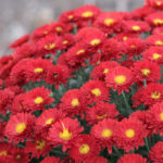 Chrysanthemums we grow for local florists