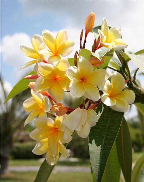 Frangipani Trees Long Blooming Fragrant
