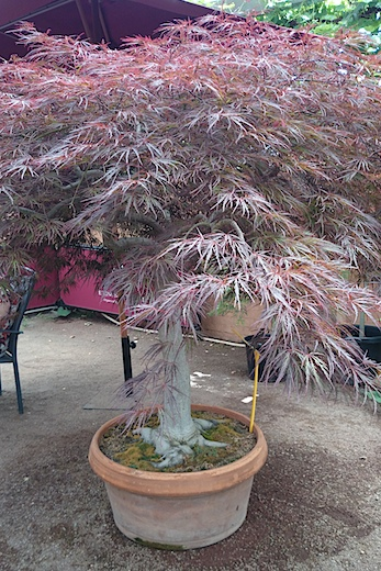 Japanese Maple The Beauty of Japan in Your Garden