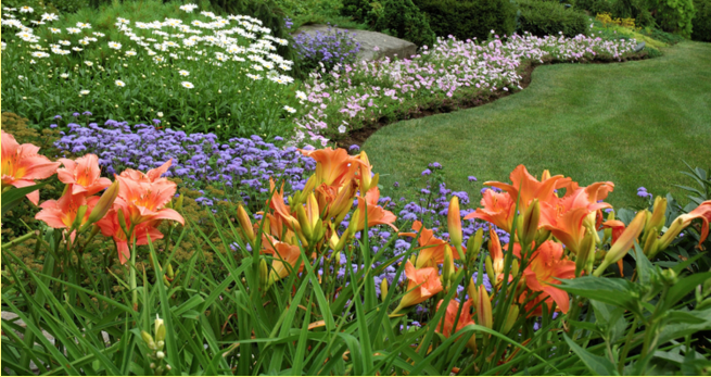 Daylilies in australia daylilies care and maintenance for Low maintenance summer plants