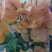 Bougainvillea Plant Tips & Varieties
