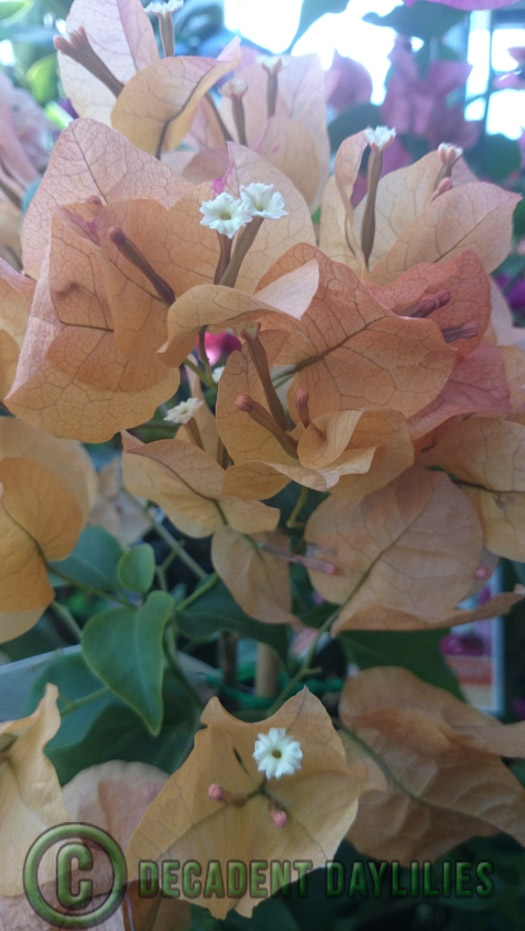 Bougainvillea Plant Tips & Varieties
