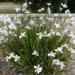 Butterfly Grass Dietes Plant Wild Iris