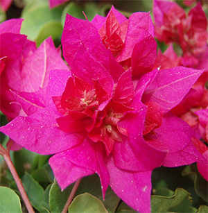 Double Petaled Bougainvillea