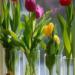 Forcing Spring flowering bulbs Indoors