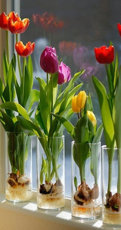 Forcing Spring flowering bulbs Indoors gardening, house plant, plant, bloom
