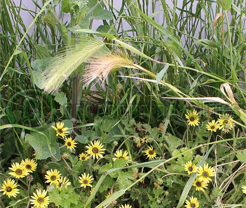 Weeds in Australia
