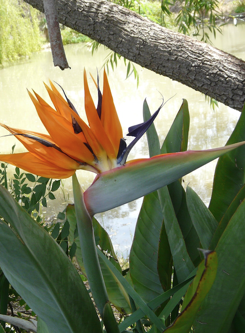 Plant Grow Care Bird of Paradise gardening plants horticulture flora backyard. Bird of Paradise Strelitzia Plant Grown Everywhere in Australia